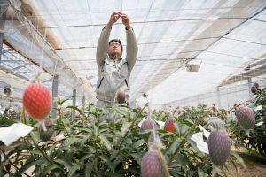 マンゴー 収穫 山梨